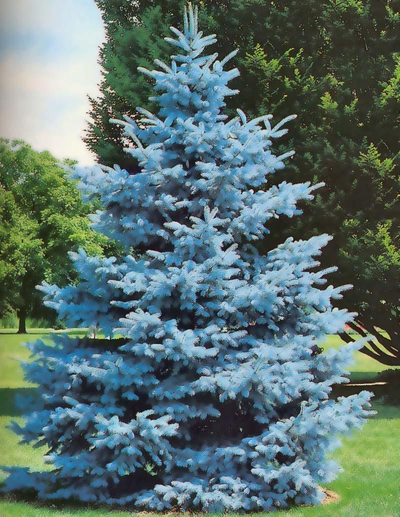 Голубая ель в лесу